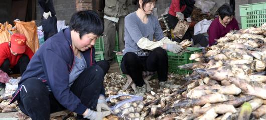 杭州富阳优质早笋直销上海等大城市