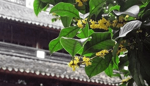 Places to enjoy osmanthus in Ningbo