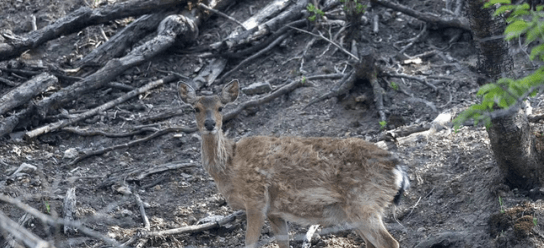 The first baby deer of 2020 was born at the Qingliang Mountain National Nature Reserve