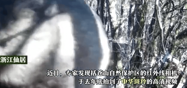 A video of the endangered Chinese Goral captured in Zhejiang's Xianju County released to the public 浙江仙居发现珍稀中华斑羚