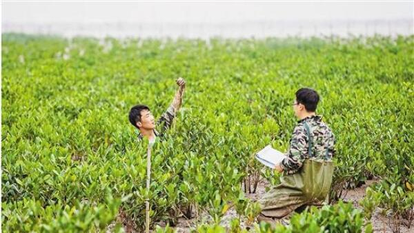 Zhejiang Ocean University achieved a new record for mangrove migration northward