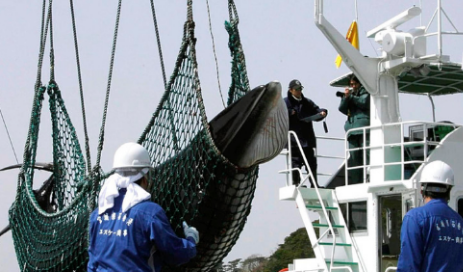與全世界為敵?日本時隔30年重啟商業捕鯨