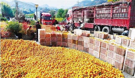 淳安县界首乡3万公斤柑橘装了满