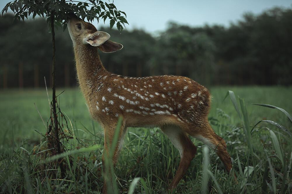 想去良渚看小鹿要等等了,明起公园鹿苑封闭施工,9月20日重新开放