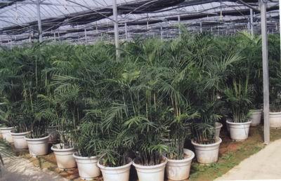 万象/棕竹别名观音竹,属棕榈科、棕竹属常绿灌木。