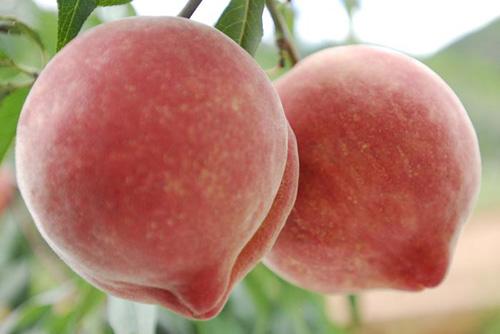 怎样栽培玉龙雪桃?