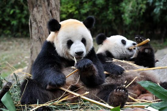 组图:12只亚运大熊猫即将亮相广州