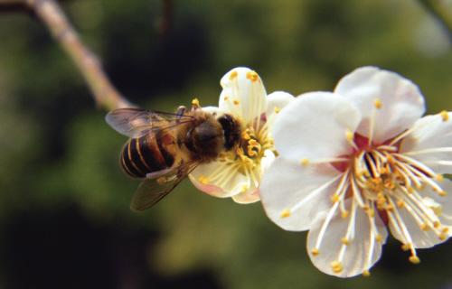 昨天上午,风和日丽,秀洲公园,白梅盛开,小蜜蜂,采蜜忙!图片