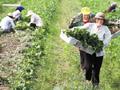 草莓苗上市