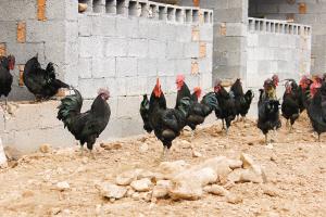 大楠黑鸡成分检测