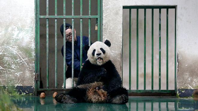 图片故事丨大熊猫