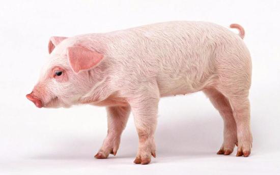猪有望在未来为人类供应器官