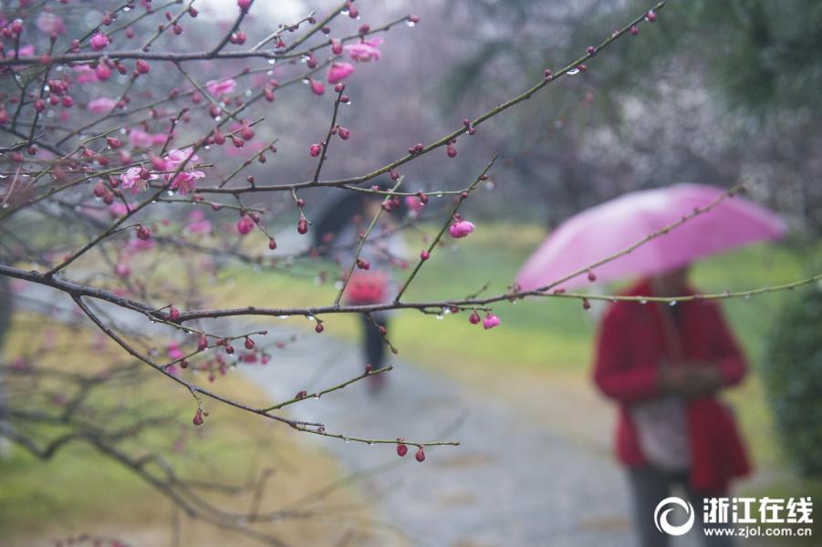 雨中梅花别样美 灵峰探梅正当时