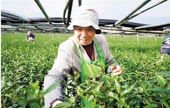采(cai)摘(zhai)春茶