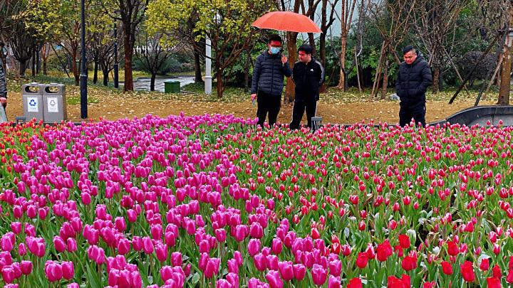 数万朵郁金香怒放杭州市中心 下午起杭州雨止转多云