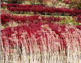 枫叶红于二月花