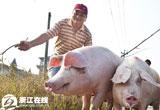【摄影】赶着猪儿走上致富路