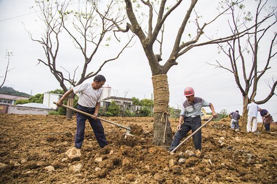 澥浦镇329国道兴建西路段景观节点改造提升工程中,几名工人正忙着做最后的绿化施工。