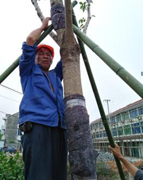 陈记良,章镇镇龙浦村村民,作为本村章清线龙浦段两侧综合提升工程的建设者,图为梅雨季节来临,正在抓紧加固苗木。